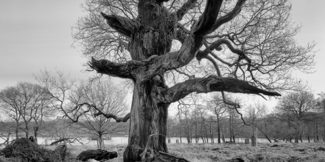 Richmond Park Tree